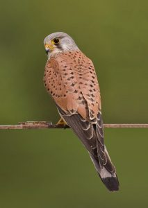 Common kestrel (Falco tinnunculus). Credit